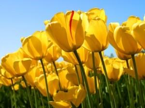 Tulips s